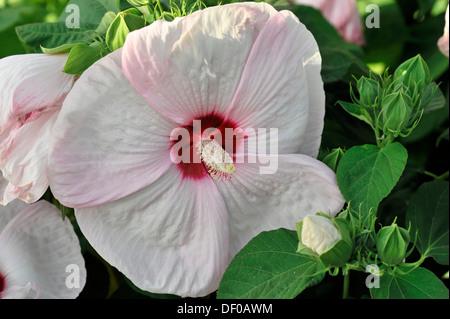 hibiscus syriacus stock photos hibiscus syriacus stock. Black Bedroom Furniture Sets. Home Design Ideas