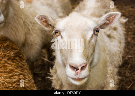 Sheep gazing at camera with other sheep in background - Stock Image