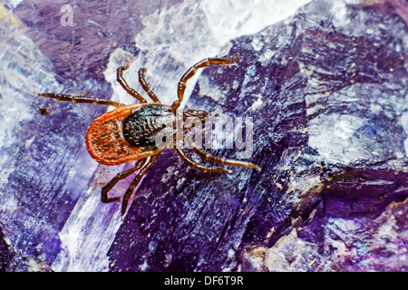 The castor bean tick (Ixodes ricinus) - Stock-Bilder