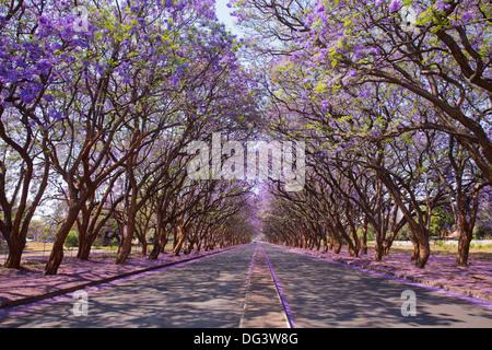 Blooming Jacaranda trees lining Milton Avenue in Harare, Zimbabwe - Stock Image