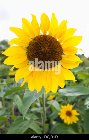 Bright yellow sunflower in allotment - Stock Image