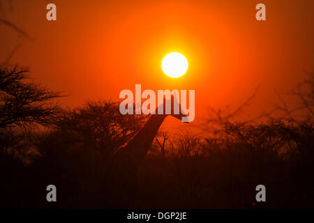 Giraffe (Giraffa camelopardalis) in front of sunset, Namibia, Africa - Stock Image