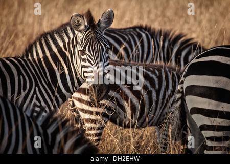 Zebra looking at camera - Stock Image