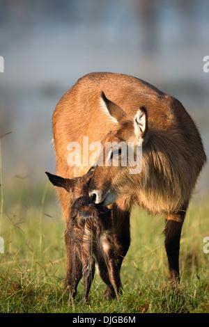 Waterbuck (Kobus ellipsiprymnus)Mother cleaning new born calf .Lake Nakuru National Park.Kenya - Stock-Bilder
