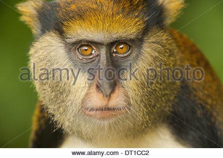 Boabeng-Fiema Monkey Sanctuary Ghana Mona monkey Cercopithecus mona Boabeng-Fiema - Stock-Bilder