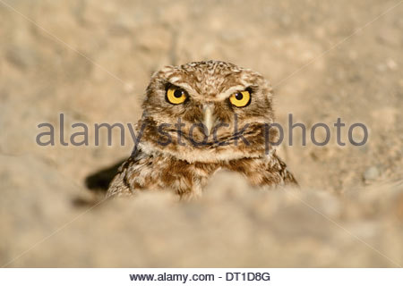 Monterey Bay California USA Burrowing owl in burrow Athene cunicularia - Stock-Bilder