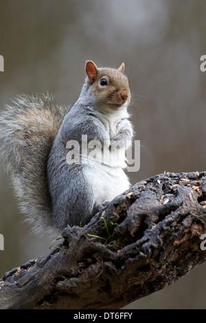 Grey Squirrel, Sciurus carolinensis, UK - Stock Image