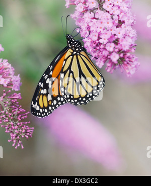 Monarch Butterfly On The Purple Flowers - Stock Image