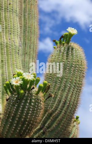 Cactus tree in Saguaro National Park, Arizona, USA - Stock Image