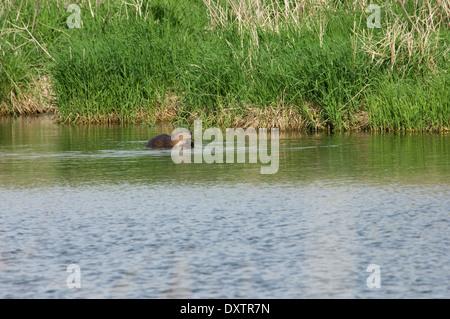 Beaver in a prairie pond, Pipestone National Monument, Minnesota. - Stock-Bilder