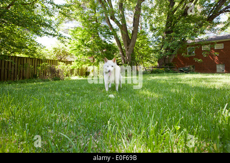 Shiba Inu playing with tennis ball on lawn - Stock Image