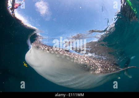 Whale shark swimming at the surface, Cenderawasih Bay, New Guinea, Indonesia (Rhincodon typus) - Stock-Bilder