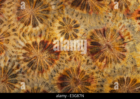 Fossilized Coral - Stock Image