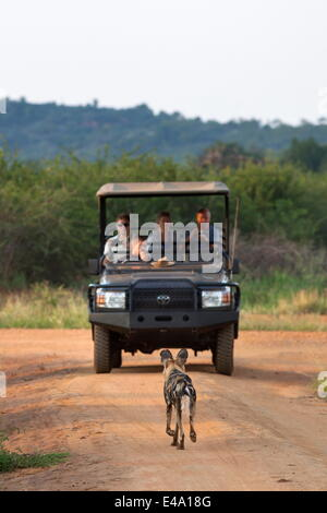 African wild dog (Lycaon pictus) and game viewing vehicle, Madikwe Game Reserve, South Africa, Africa - Stock Image