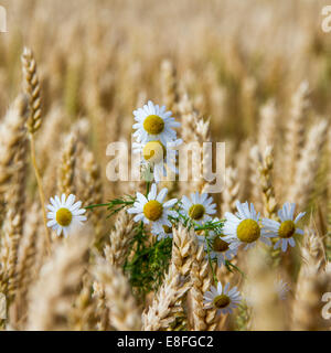 Daisies in wheat field - Stock Image