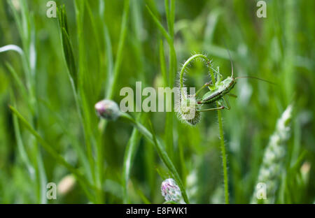 Italy, Lombardy, Milan, Close up of cricket on flower - Stock Image
