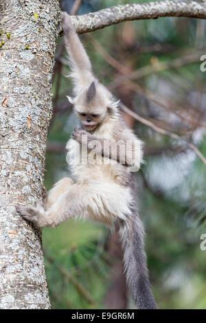 Juvenile Yunnan Snub-nosed Monkey (Rhinopithecus bieti) descending a tree - Stock Image
