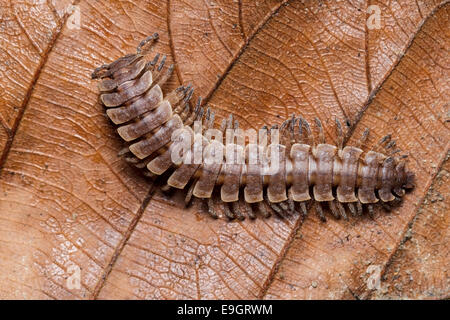 Flat-backed Millipede (Polydesmus angustus) in tropical rainforest of Malaysia - Stock Image