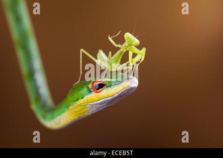 Indonesia, Riau Islands, Batam City, Mantis on snake - Stock Image