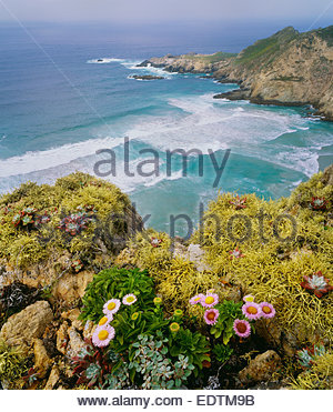 Harris Point with seaside daisies and lichens.  San Miguel Island.  Channel Islands National Park, California. - Stock-Bilder