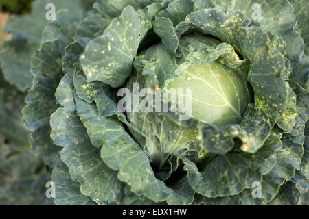 close up of a cabbage head growing in a Spanish field in Autumn. - Stock-Bilder