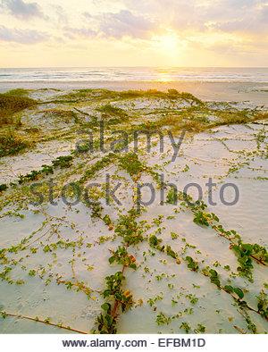 Railroad vine [lpomoea pes-caprae var. emarginata], and 'Gulf of Mexico beach at sunrise.  Padre Island National - Stock Image