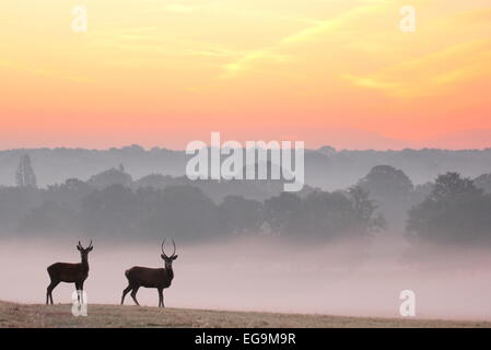 Red deer stags at sunrise. Richmond Park, London UK - Stock Image