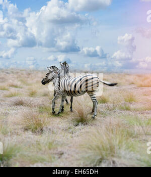 Two Zebras In The Savannah - Stock Image