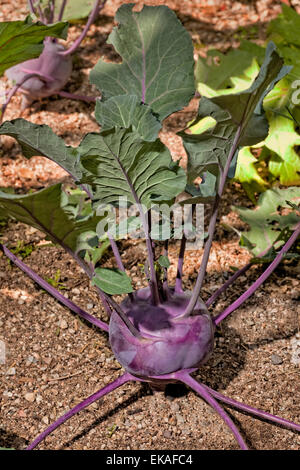 Kohlrabi (German turnip or turnip cabbage) Brassica oleracea - Stock Image