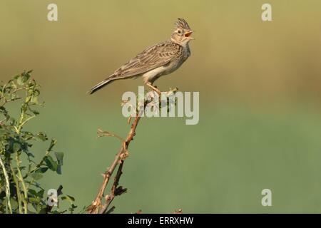 common skylark - Stock Image