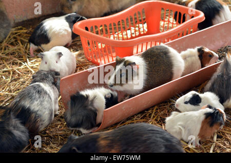 Guinea pigs play in Petting zoo. - Stock Image