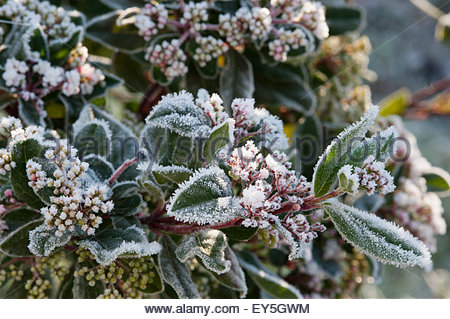 frost on laurustinus spirit in bud in a garden stock image