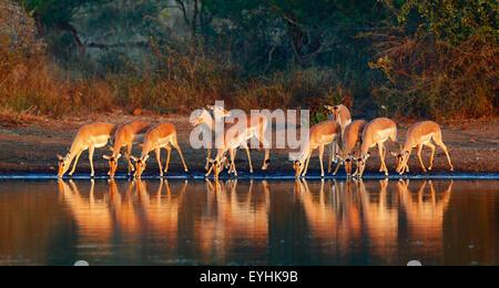 Impala herd (Aepyceros melampus) drinking water - Kruger National park (South Africa) - Stock Image