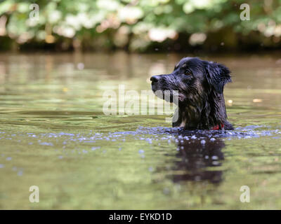 collie cross dog swimming in lake waiting for toy to be thrown - Stock Image