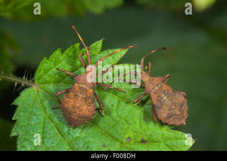 Squash bug (Coreus marginatus, Mesocerus marginatus), two larvae on a leaf, Germany - Stock Image