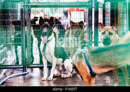Various mixed breed dogs mingling about in caged shelter rescue facility - Stock Image