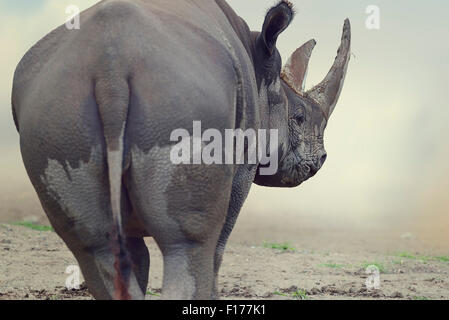 Portrait of Black Rhinoceros ,walking away - Stock-Bilder