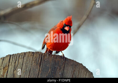 Male Northern Cardinal on a Post Looking Down - Stock-Bilder