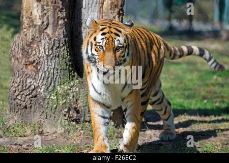 Siberian (Amur) Tiger - Stock Image