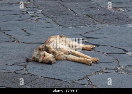 Sleeping golden dog on flagstones, Monte, Funchal, Madeira, Portugal - Stock Image
