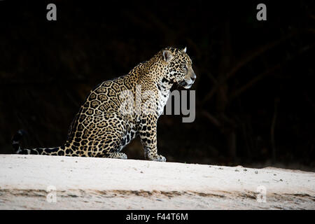 Jaguar (Pantera onca) sitting at night, Mato Grosso, Brazil - Stock Image