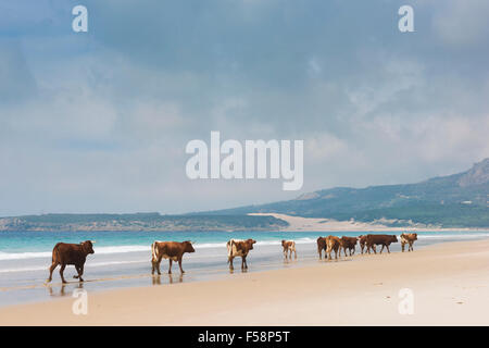 Group of cows walking along the beach. Bolonia, Tarifa, Costa de la Luz, Andalusia, Southern Spain. - Stock Image