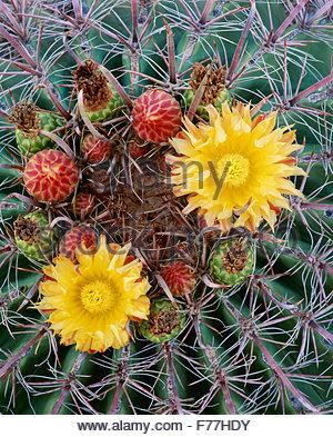 Fishhook barrel cactus [Ferocactus wislizenii] Saguaro National Park. Arizona. - Stock Image