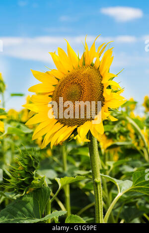 Sunflower Stem Stock Photos Amp Sunflower Stem Stock Images