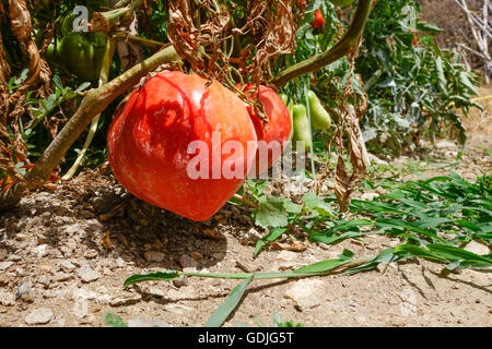 how to grow beefsteak tomatoes nz