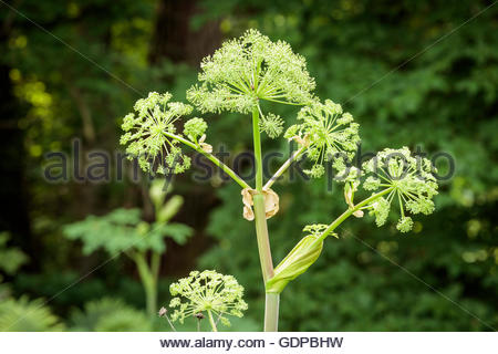Parsnip, , Pastinaca sativa sap is poisonous growing in Rouge National Urban Park in Toronto Ontario Canada - Stock Image