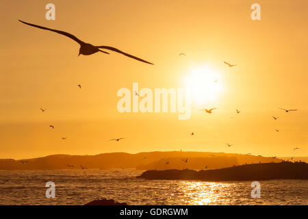 Beach with seagulls flying in the sky at sunset, Essaouira, Morocco. - Stock Image