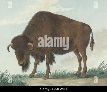 Bison, by Isaac van Haastert, 1808, Dutch watercolor painting. (BSLOC_2016_1_281) - Stock-Bilder