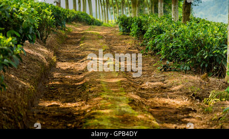 Pathway under the trees in the tea plantation - Stock Image