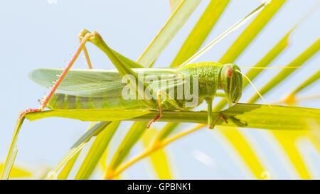 Large grasshopper, eating grass - Stock-Bilder
